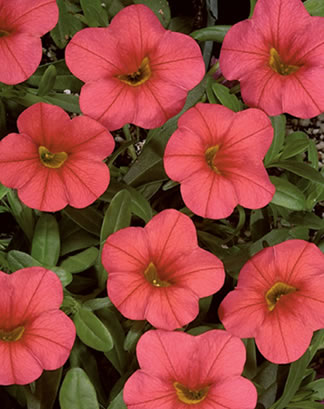 petunia flat at Depot Farm Stand, Garden Center, and Gift Shop, Merrimack, NH